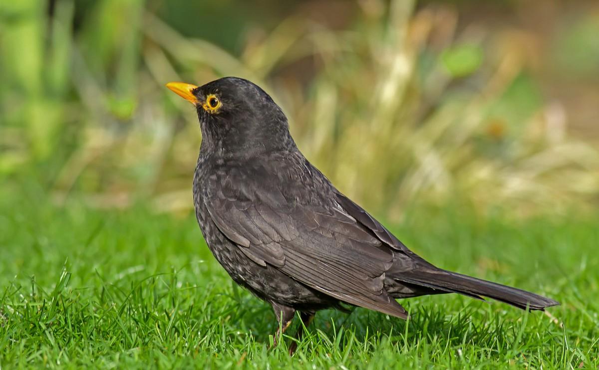 canti uccelli mp3